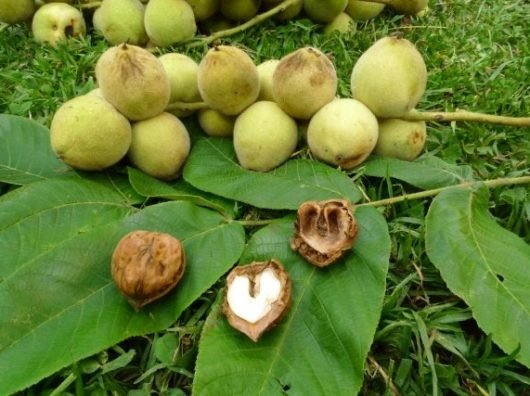Орех маньчжурский лечебные свойства — маньчжурский орех настойка