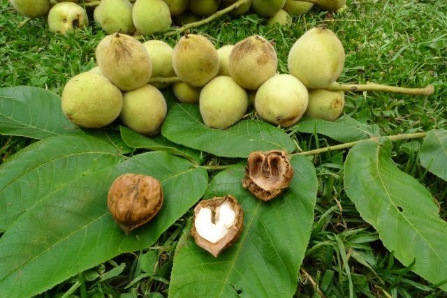 Настойка из маньчжурского ореха