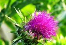 Расторопша полезные свойства и противопоказания — лечение расторопшой