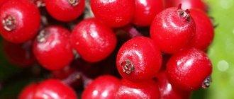 Красная бузина: лечебные свойства и рецепты для лечения