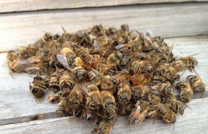 Как лечить простату пчелиным подмором рекомендации по применению