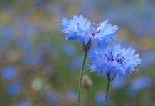 Василек синий — описание и применение цветков василька