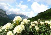 Кавказский рододендрон лечебные свойства и противопоказания