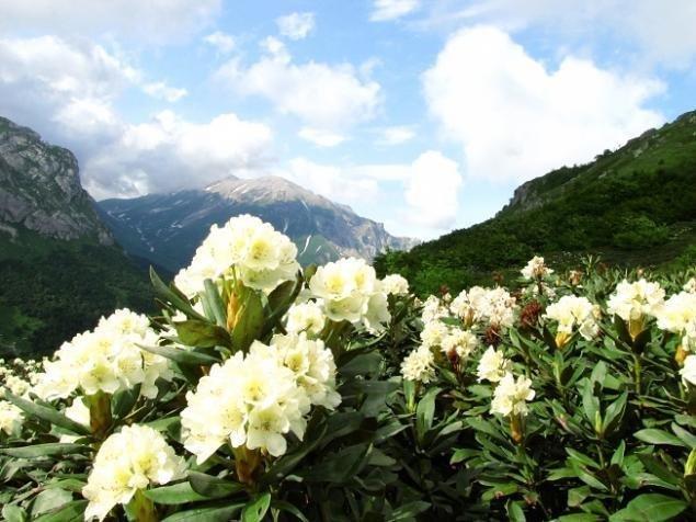 Лечебные свойства рододендрона кавказского