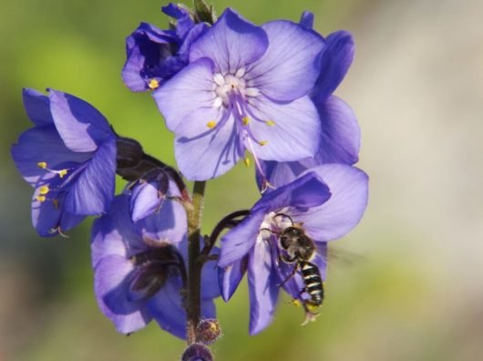 Трава синюха голубая применение и противопоказания