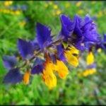 Иван да марья цветок полезные свойства