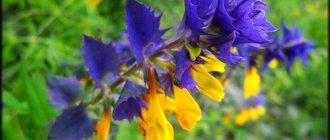 Иван-да-Марья цветок: полезные свойства