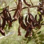 Рожковое дерево полезные свойства — плоды рожкового дерева