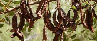 Рожковое дерево: полезные свойства