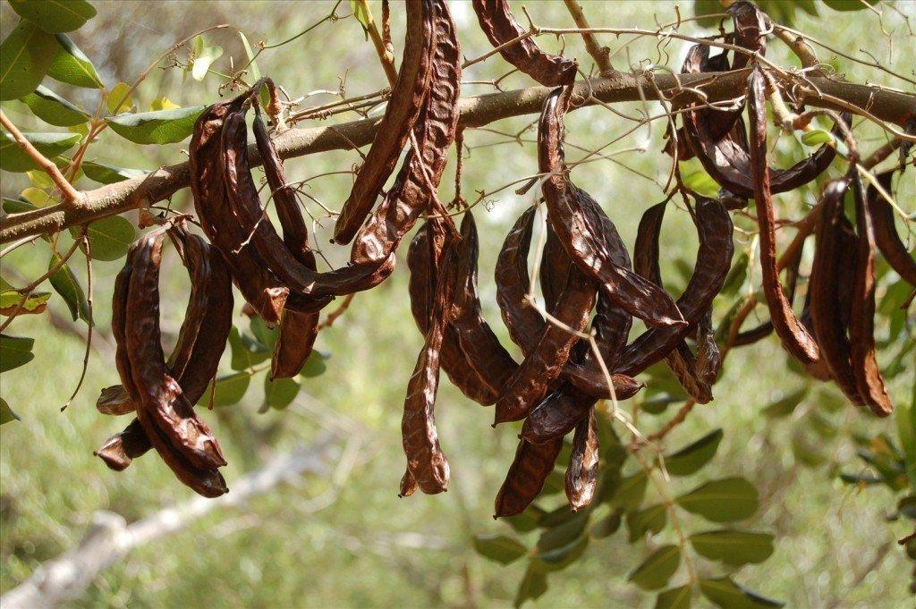 Полезные свойства рожкового дерева