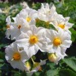 Цветы картофеля лечебные свойства