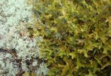 Исландский мох лечебные свойства и противопоказания