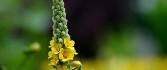 Скипетр царский или коровяк: лечебные свойства и применение растения