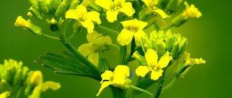 Трава сурепка: описание и применение растения
