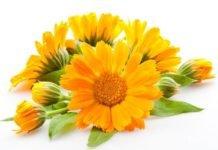 Цветки календулы: лечебные свойства, инструкция по применение