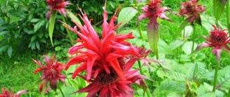 Цветок монарда лечебные свойства — применение монарды