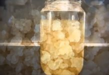 Рисовый гриб: вред и польза — применение рисового гриб