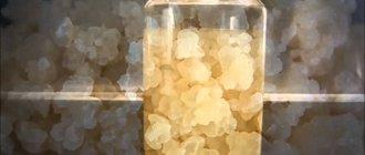 Рисовый гриб: вред, польза, применение