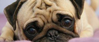 Бородавки у собак на морде и на теле чем и как лечить?