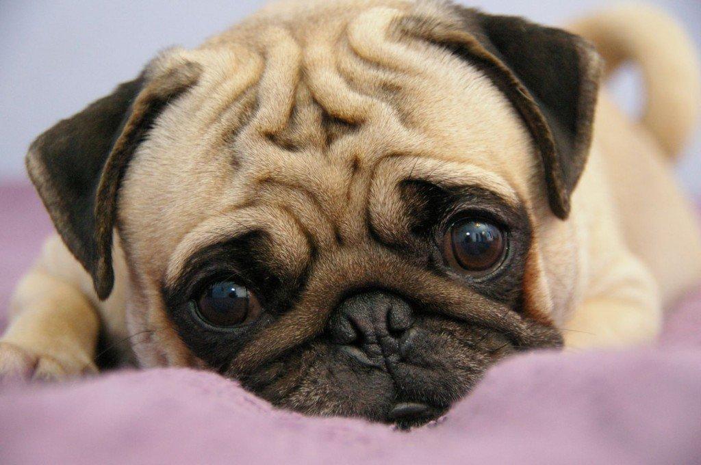 Почему возникают бородавки у собак. Образовалась бородавка у собаки чем лечить