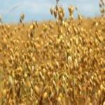 Овес лечебные свойства и противопоказания — лечение овсом