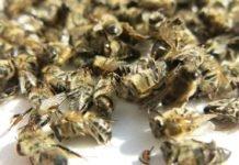 Подмор пчелиный — лечебные свойства и применение