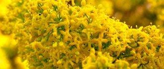 Трава подмаренник — лечебные свойства и противопоказания