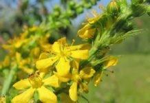 Трава репешок лечебные свойства — применение репешка