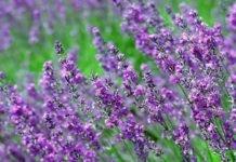 Трава Богородская (чабрец): полезные свойства и противопоказания