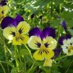 Фиалка трехцветная лечебные свойства — описание и выращивание фиалки