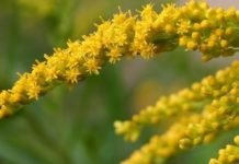 Розга золотая применение и лечебные свойства