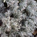 Исландский мох цетрария — применение и лечебные свойства