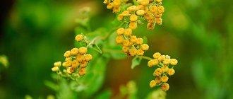 Лечебные свойства и применение растения канупер