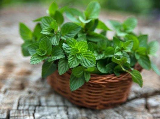 Мята перечная лечебные свойства — масло и настойка на листьях мяты