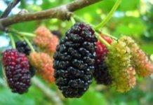 Дерево шелковица: полезные свойства, отзывы