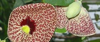Трава кирказон: лечебные свойства, применение