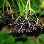 Бузина черная: полезные свойства и противопоказания ягоды