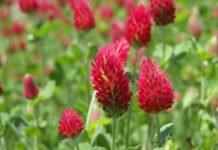 Цветы красного клевера — свойства лугового цветка