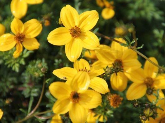 Трава череда полезные свойства и противопоказания — отзывы