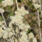Трава шерстистая эрва показания к применению — отзывы