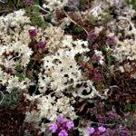 Лечебные свойства исландского мха