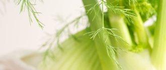 Лечебные свойства плодов и семян фенхеля