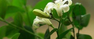 Цветок муррайя лечебные свойства — свойства растения