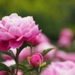 Лепестки пиона лечебные свойства — чай из лепестков пиона