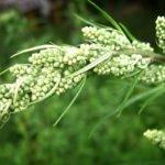 Трава чернобыльник: лечебные свойства — применение полыни