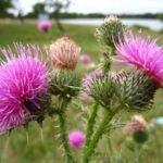 Трава чертополох лечебные свойства и противопоказания