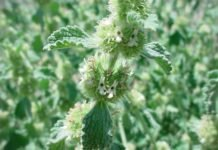 Шандра обыкновенная лечебные свойства — фото растения шандра
