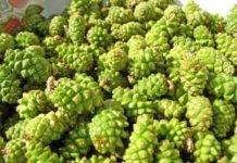 Зеленые шишки сосны польза и применение — рецепты