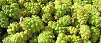 Зеленые шишки сосны: польза и применение