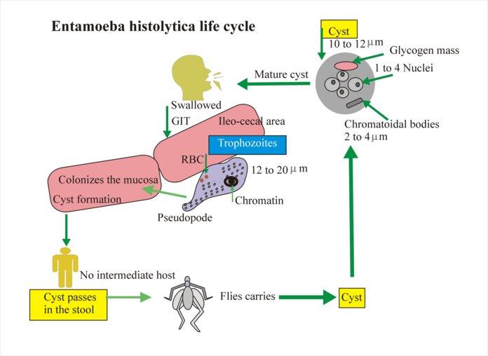 Жизненный цикл амебы